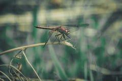 Primer de una libélula, fondo verde borroso del prado, Sunny Summer Day brillante fotos de archivo