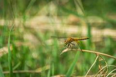 Primer de una libélula, fondo verde borroso del prado, Sunny Summer Day brillante imagenes de archivo