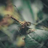 Primer de una libélula, fondo verde borroso del prado, Sunny Summer Day brillante fotografía de archivo libre de regalías