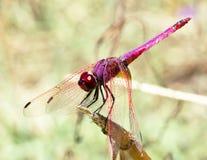 Primer de una libélula roja Imagen de archivo