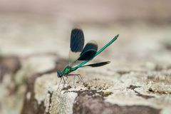 Primer de una libélula verde y azul hermosa Foto de archivo libre de regalías