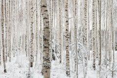 Primer de una madera de abedul en invierno en Finlandia Imágenes de archivo libres de regalías