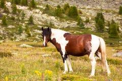 Primer de una manada de caballos marrones y blancos fotografía de archivo