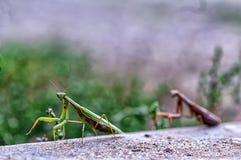 Primer de una mantis religiosa Fotos de archivo