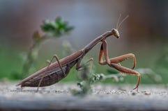 Primer de una mantis religiosa Foto de archivo