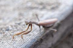 Primer de una mantis religiosa Fotografía de archivo libre de regalías