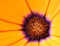 Amarillee la margarita Imagenes de archivo