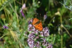 Primer de una mariposa anaranjada en una flor violeta, foco selectivo fotografía de archivo libre de regalías