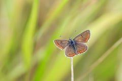 Primer de una mariposa marrón de argus, agestis de Aricia rsting en la mañana Foto de archivo