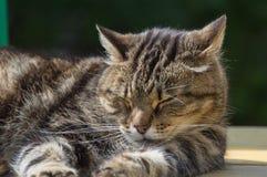 Primer de una mentira del gato Fotografía de archivo