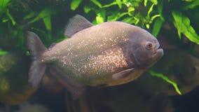 Primer de una natación hinchada roja de la piraña en el acuario, pescado tropical con las escalas que brillan de oro, animal domé metrajes