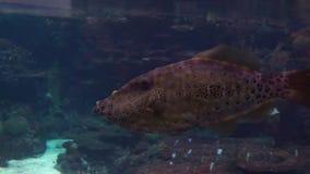 Primer de una natación manchada marrón y negra grande del wrasse en el agua metrajes