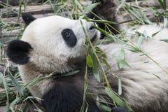 Primer de una panda de mentira (panda gigante) Fotos de archivo