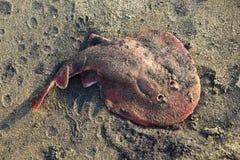 Primer de una pastinaca de los pescados en una arena El Océano Índico Foto de archivo libre de regalías