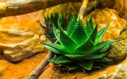 Primer de una pequeña planta de Vera del áloe, medicina ayurvedic, plantas cultivadas populares en horticultura fotografía de archivo libre de regalías