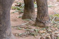 Primer de una pierna del elefante en cadenas en campo del elefante fotos de archivo libres de regalías
