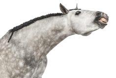 Primer de una pista andaluz, 7 años, haciendo una cara, estirando su cuello, también conocido como el caballo español puro o PRE Foto de archivo libre de regalías
