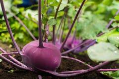 Primer de una planta madura púrpura del colinabo o de nabo que crece adentro adentro Fotografía de archivo