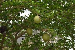 Primer de una planta verde del pomelo en un jardín en Hanoi en Vietnam, Asia foto de archivo libre de regalías