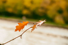 Primer de una rama colorida del roble del otoño con las hojas anaranjado-marrones contra un fondo de un bosque borroso del otoño, Imágenes de archivo libres de regalías