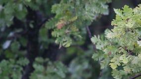 Primer de una rama del roble en una lluvia ligera del verano almacen de video