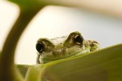 Primer de una rana verde tropical Imagenes de archivo