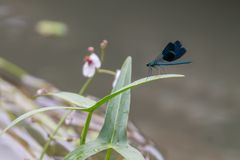 Primer de una reclinación verde y azul hermosa de la libélula imagen de archivo