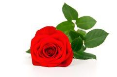 Primer de una rosa Foto de archivo