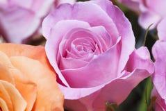 Primer de una rosa Imagenes de archivo