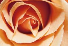 Primer de una rosa Imagen de archivo