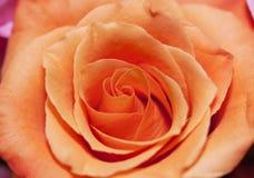 Primer de una rosa Foto de archivo libre de regalías