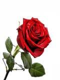 Primer de una rosa roja con descensos del agua en un fondo blanco Fotos de archivo