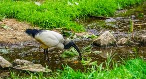 Primer de una situación africana de Ibis sagrado en una pequeña corriente del río, especie tropical del pájaro de África imagen de archivo libre de regalías