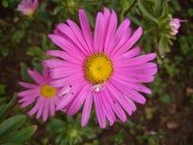 Primer de una sola flor hermosa de la margarita imagenes de archivo
