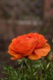 Primer de una sola floración del ranúnculo con las gotitas de agua fotos de archivo libres de regalías
