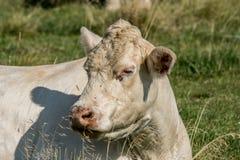 Primer de una vaca blanca que descansa en la hierba verde Imagenes de archivo