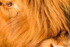 Primer de una vaca gritadora del ganado de la montaña Fotos de archivo libres de regalías