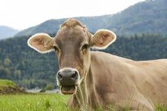 Primer de una vaca marrón que miente en hierba verde enorme en las montañas austríacas fotografía de archivo libre de regalías