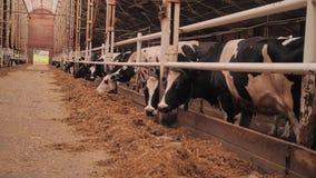 Primer de una vaca negra ella come el heno pet Granja La cría de los animales metrajes
