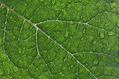 Primer de Waterdrops en una hoja de la uva Foto de archivo libre de regalías