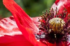 Primer decorativo de la amapola de la flor foto de archivo