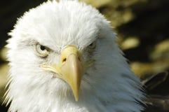 Primer del águila Imagen de archivo