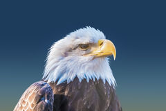 Primer del águila calva Fotos de archivo libres de regalías