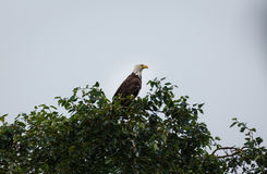 Primer del águila calva madura roosting arriba en top del árbol Imagenes de archivo