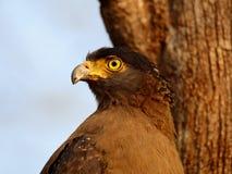 Primer del águila de la serpiente Foto de archivo
