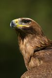 Primer del águila de oro iluminada por el sol que mira fijamente hacia arriba Fotografía de archivo libre de regalías