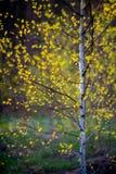 Primer del árbol de abedul en primavera Foto de archivo libre de regalías