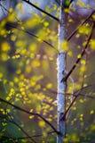 Primer del árbol de abedul en primavera Fotos de archivo