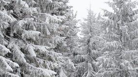 Primer del árbol de abeto del invierno almacen de metraje de vídeo
