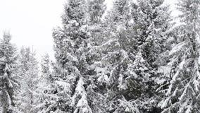 Primer del árbol de abeto del invierno metrajes